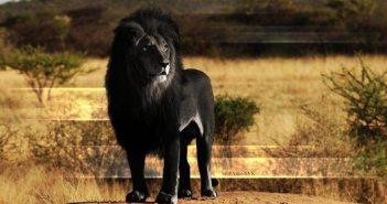 amazing-cool-melanistic-black-animals2