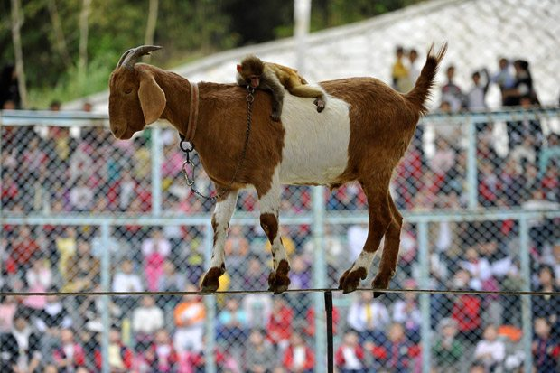 wtf_a_goat_walking_on_a_rope_with_a_monkey_riding_on_its_back