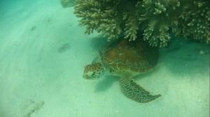 tortue-grande-barriere-de-corail