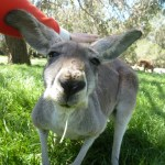 cleland-adelaide-kangourou