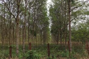 Des arbres à caoutchouc.