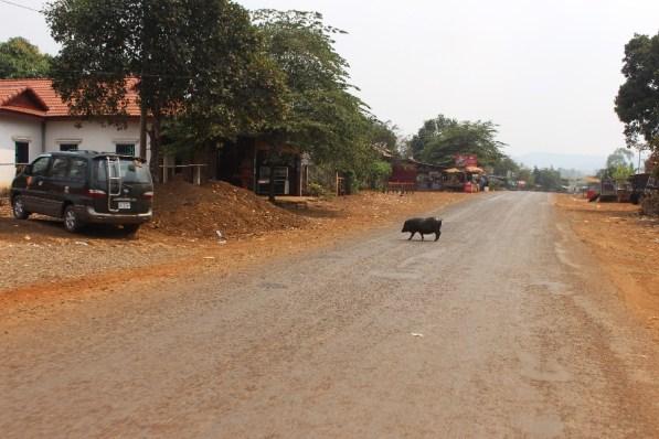 Un cochon en plein milieu de la route.