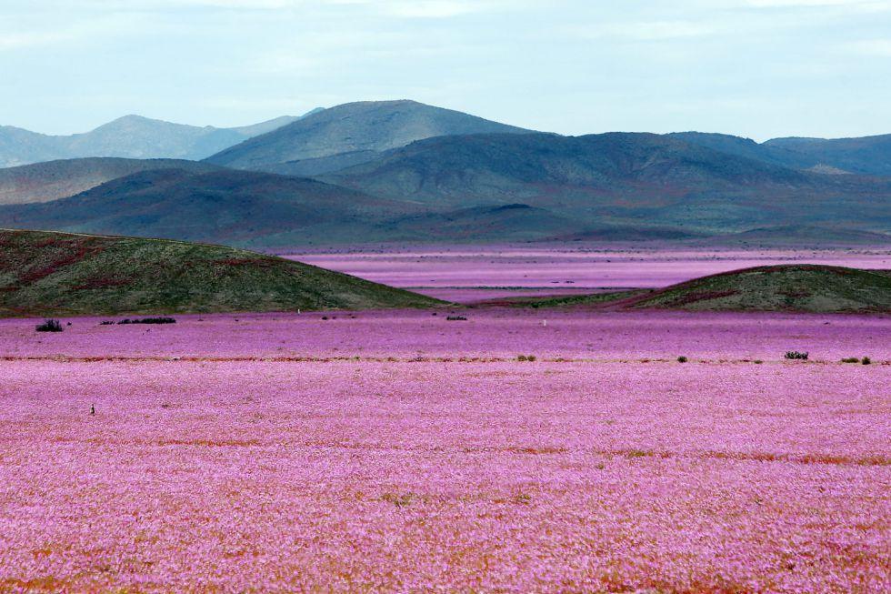 Las abundantes precipitaciones que han mojado el norte de Chile estos últimos meses, han propiciado el 'florecimiento más espectacular de los últimos 18 años', en la región de Atacama, localidad distante a 750 kilómetros al norte de Santiago (Chile).