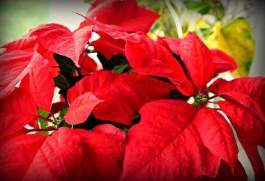 Weihnachtsbräuche aus aller Welt: Weihnachtsstern