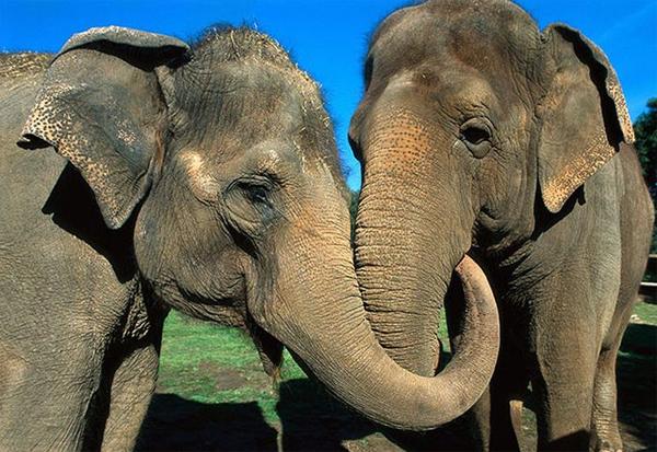 2-elefantes-reunidos