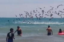 海に飛び込むペリカンの群れ