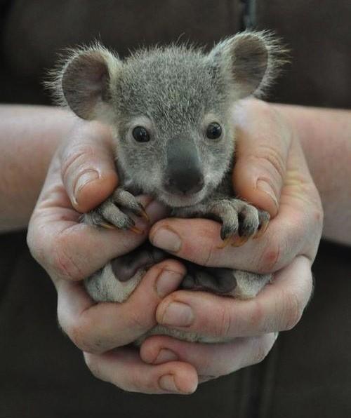 小さいコアラ