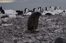 ペンギンの子供