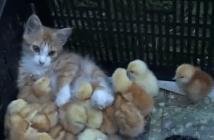 ひよこのお母さんは猫