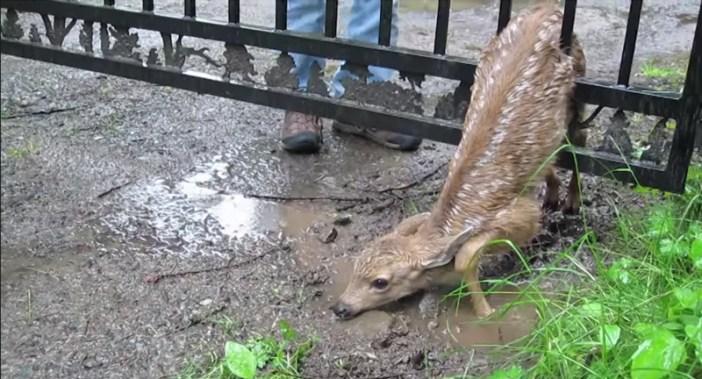 挟まった子鹿