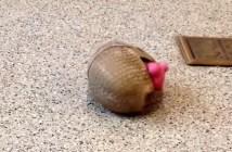 おもちゃで遊ぶアルマジロ