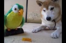 おもちゃのインコに従う柴犬