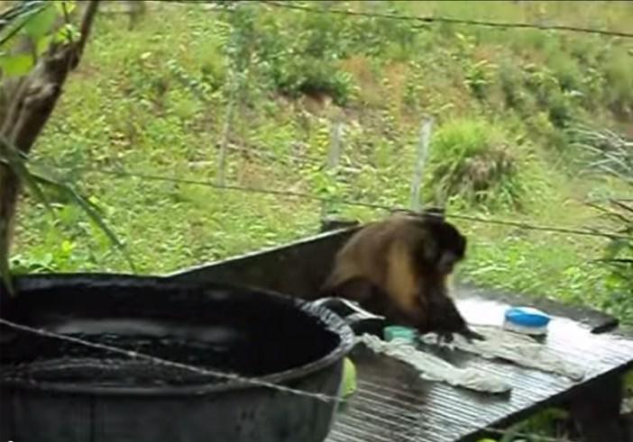 洗濯する猿