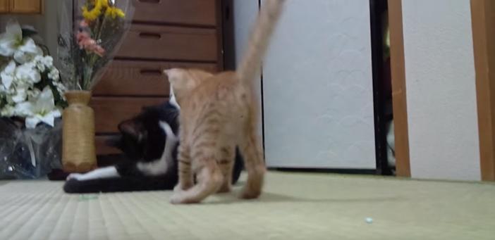 寸前で躊躇する子猫