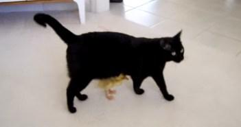 猫とアヒルの赤ちゃん