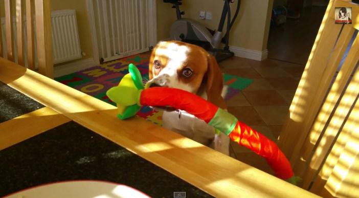 テーブルの上におもちゃを乗せる犬
