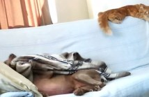 毛布を取る犬