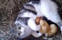 アヒルの赤ちゃんと猫