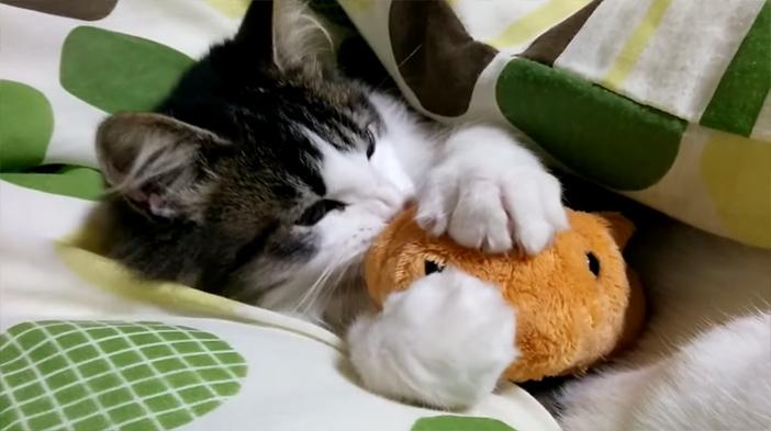 カピバラさんと遊ぶ子猫