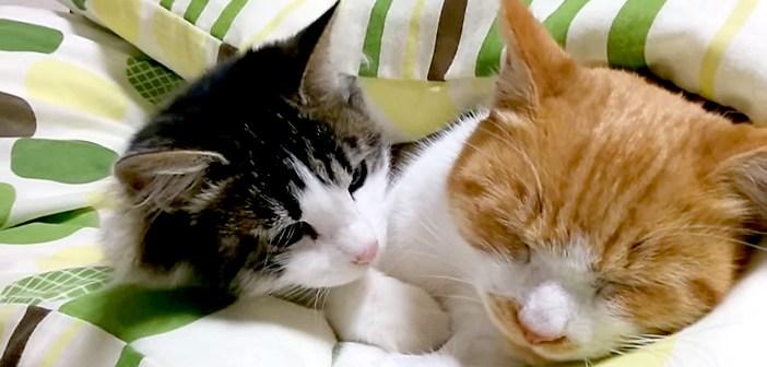 大人猫を起こそうとする子猫