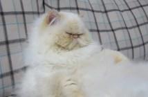 ソファーで気持ちよさそうに眠る猫