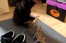 猫じゃらしでトカゲの気を引く猫