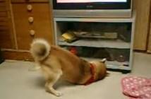 テレビ台の下のおやつが諦めきれない犬