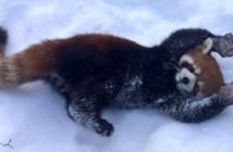 大はしゃぎするレッサーパンダ