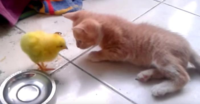 ヒヨコと子猫