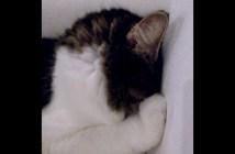 ソファに顔を埋める猫