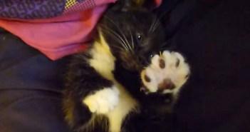 エアーフミフミする子猫