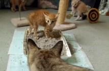 初めて見る大人猫にビックリする子猫
