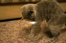 金魚鉢に入りたい猫