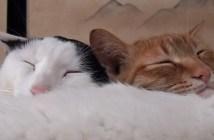 猫枕で眠る猫
