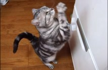 冷蔵庫に向かっておねだりする猫