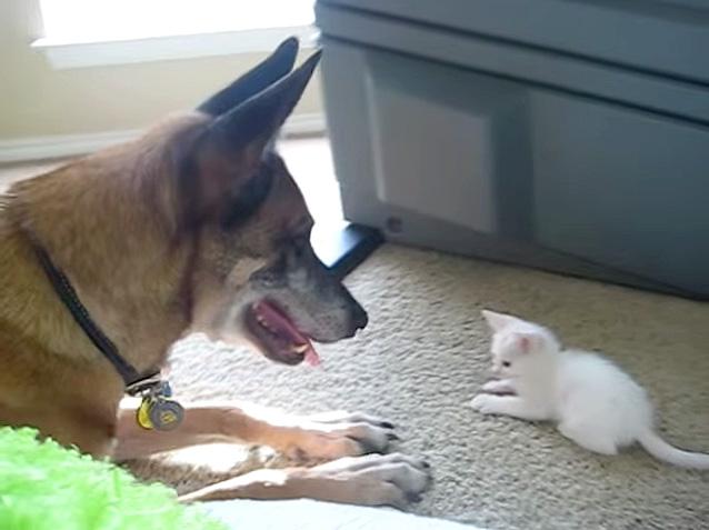 退役軍犬と子猫