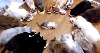 みんなでごはんを食べる猫