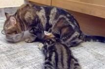 ごはんを一緒に食べる猫の親子
