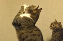 ちょうだいする猫