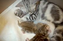 お乳を子猫に上げる母猫