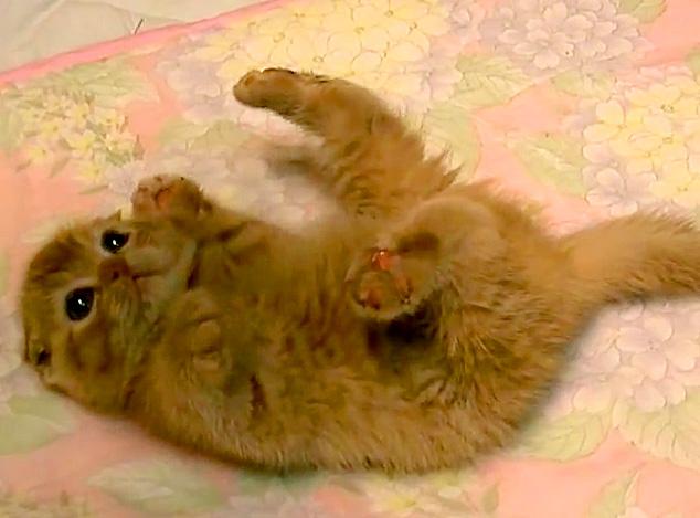 転がる子猫