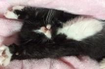 バンザイして眠る子猫