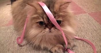 リボンを巻いてかわいいと言う猫