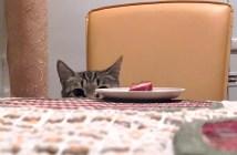テーブルの上のごはんが食べたい猫