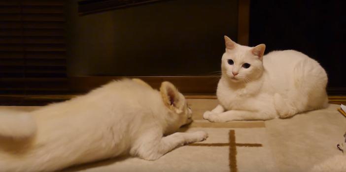 ネコに通じなくて愕然とする犬