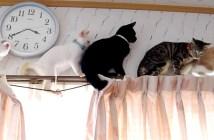 カーテンレールで渋滞する猫