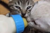 哺乳瓶を絶対に離さない子猫