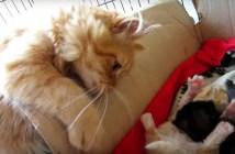 お兄ちゃんになったばかりの猫
