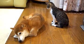 柴犬の毛づくろいをする子猫