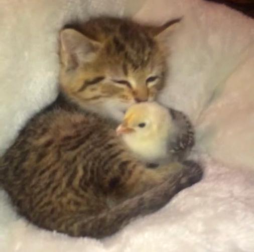 ヒヨコをペロペロする子猫